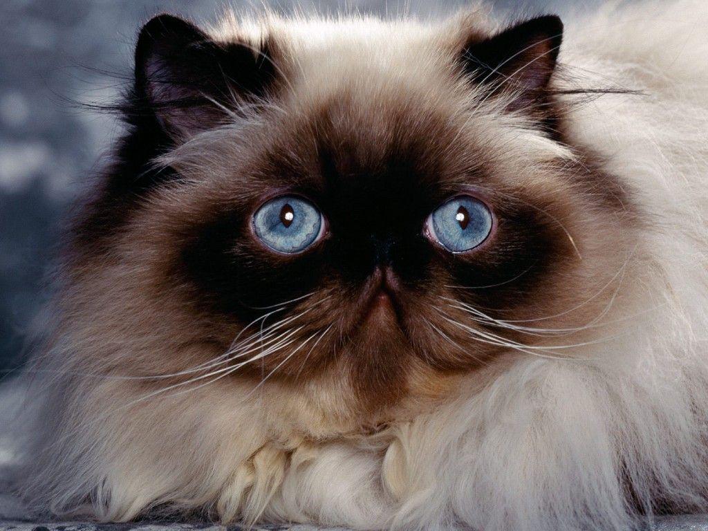 گربه همالین فلت