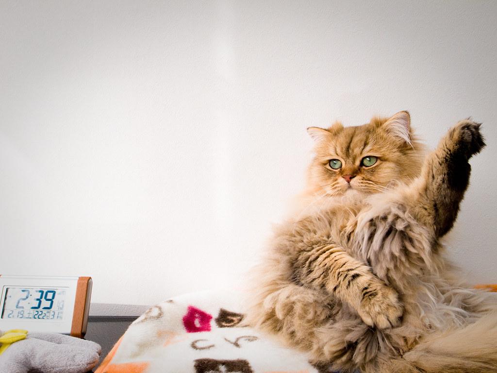 درمان چاقی گربه