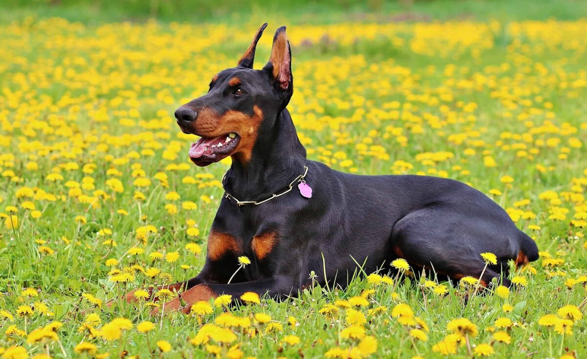 سگ دوبرمن ماده در دشت گل