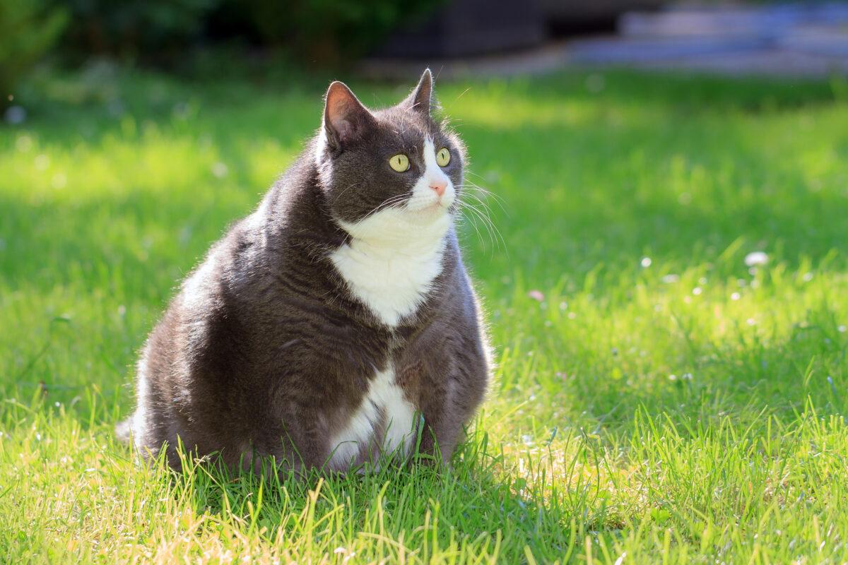 گربه چاق در طبیعت