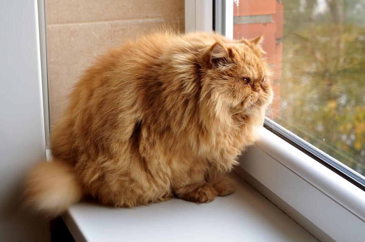 گربه پرشین چاق
