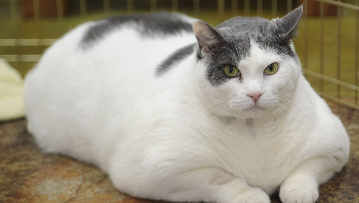 گربه سفید چاق