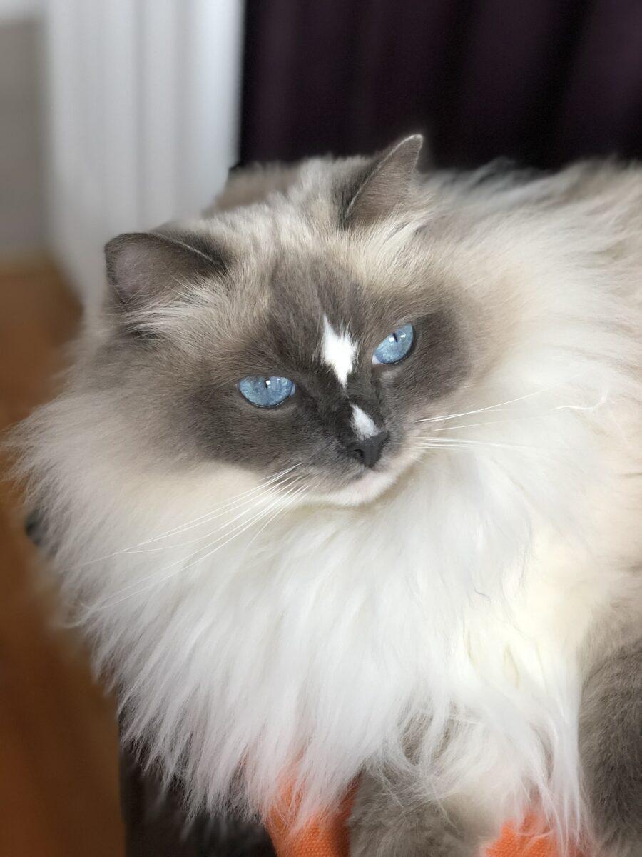 گربه هیمالین طوسی ماه پیشونی