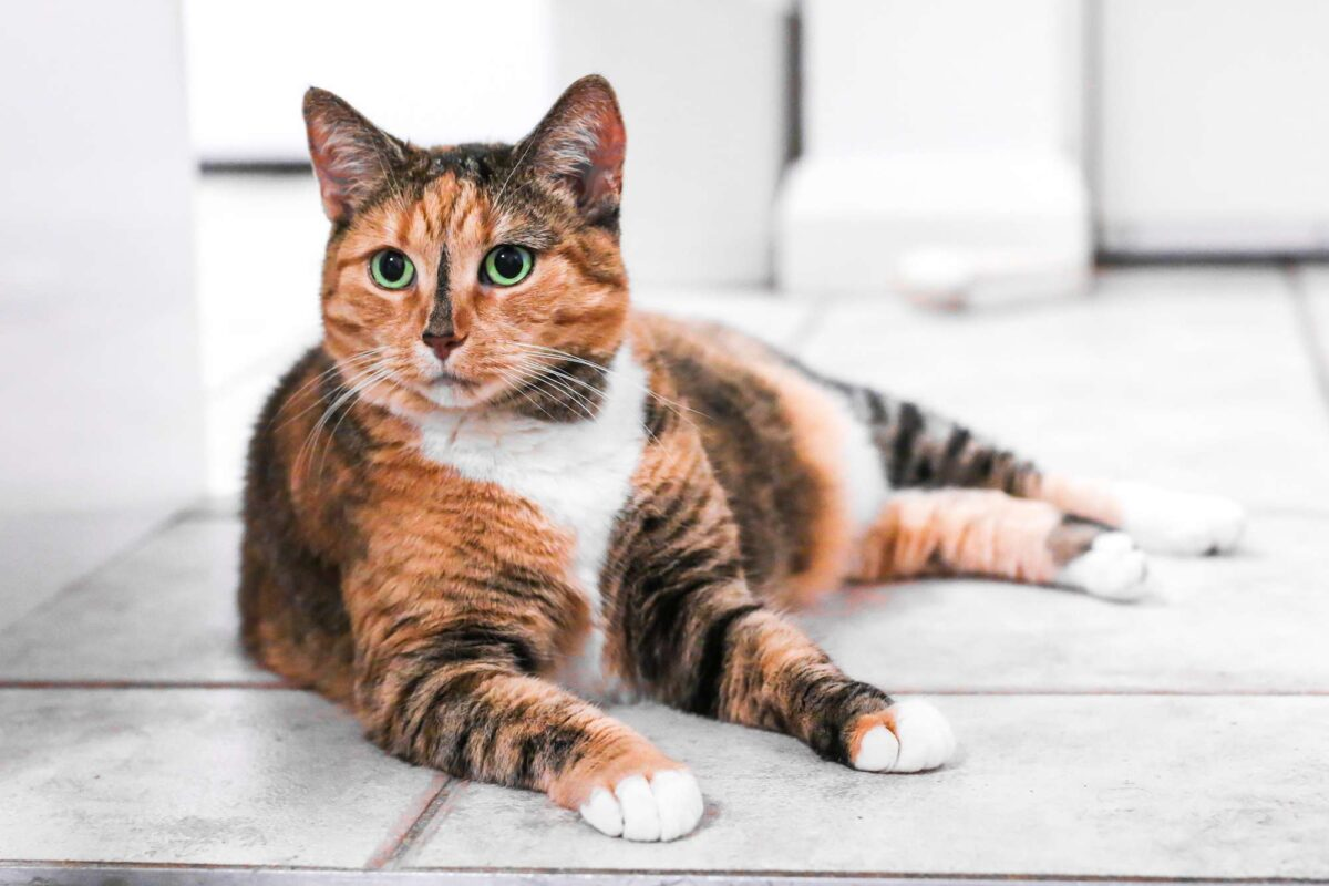 عکس گربه کالیکو سه رنگ