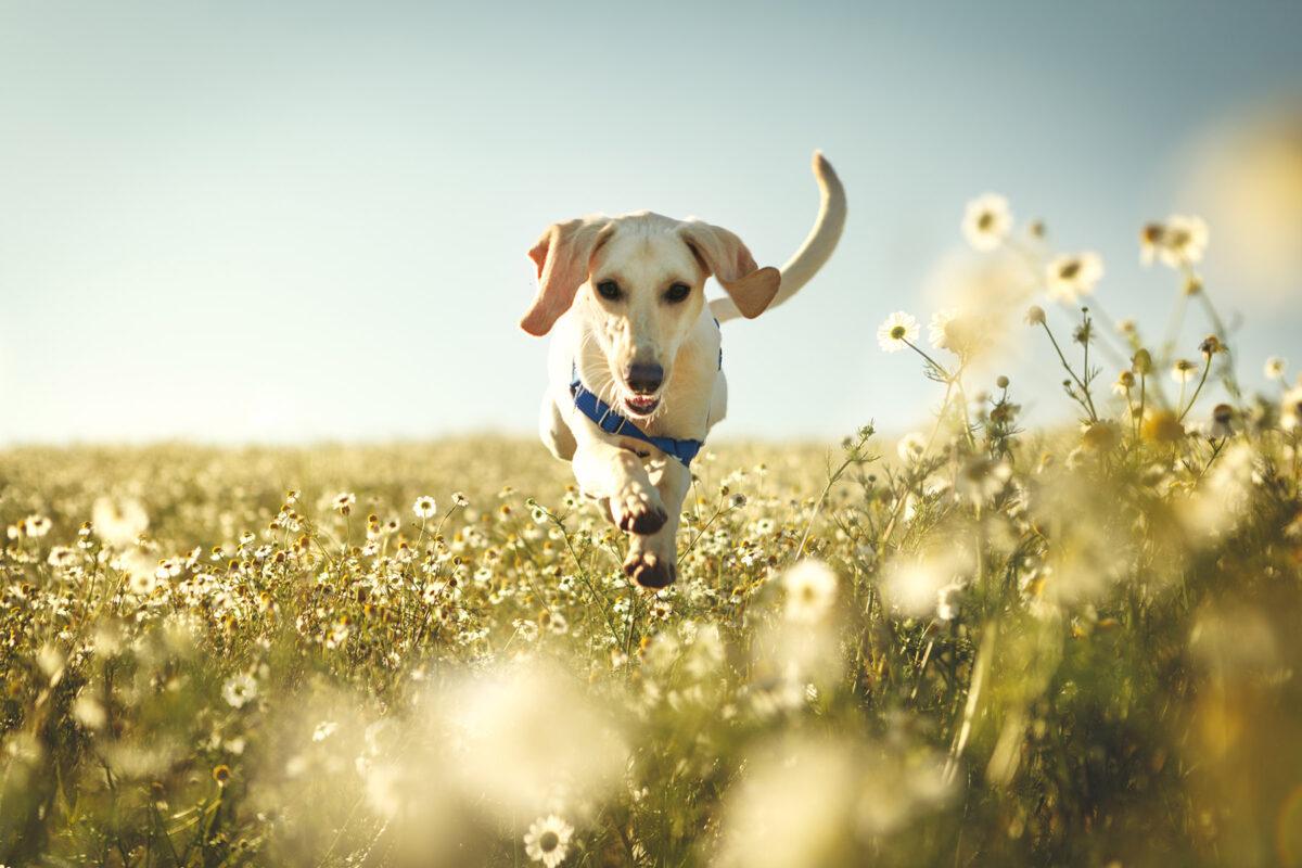 سگ در حال دویدن در دشت گل بابونه
