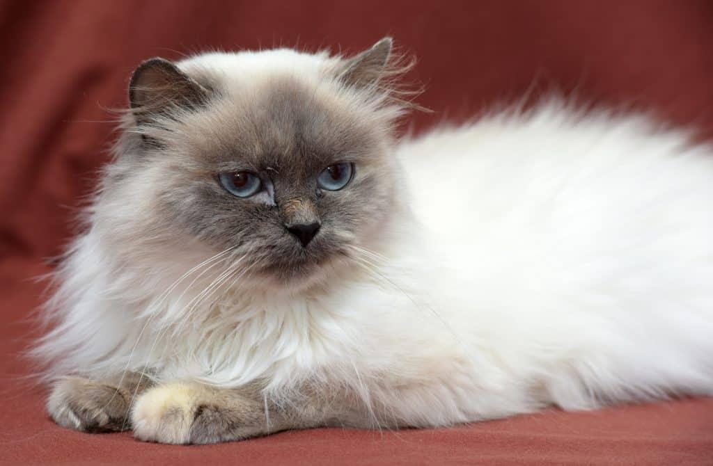 گربه هیمالین طوسی