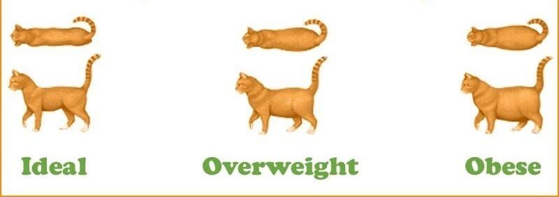 آیا گربه من چاق است