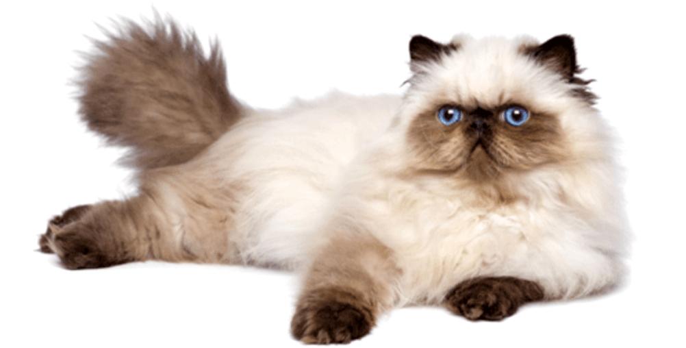 گربه هیمالین کرم
