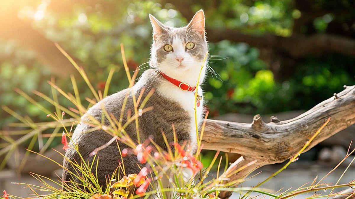 عکس قلاده گردنی گربه