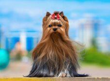 معرفی نژاد یورکشایر تریر؛ سگی با جثه کوچک اما شخصیتی بزرگ!