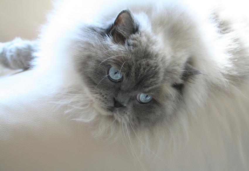 گربه هیمالین آبی پشمالو