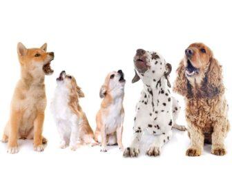 آموزش پارس کردن به سگ + آموزش ساکت شدن و پارس نکردن