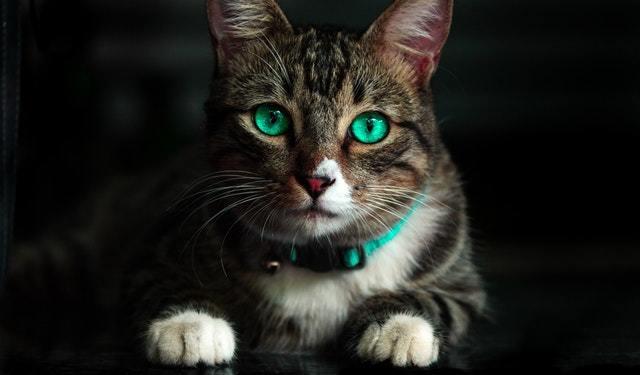 انواع قلاده گربه