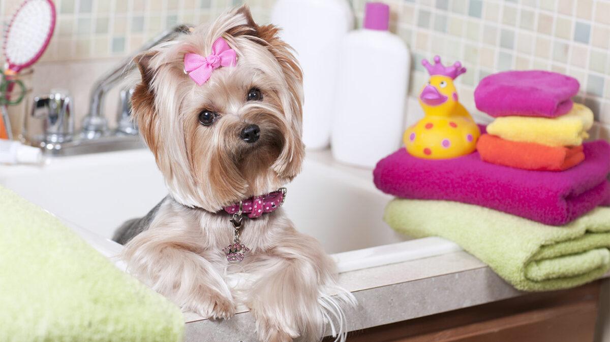 سگ یورکی در حمام