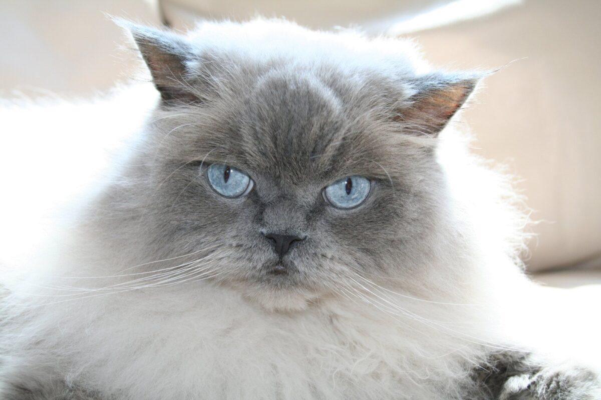 گربه هیمالین طوسی نر