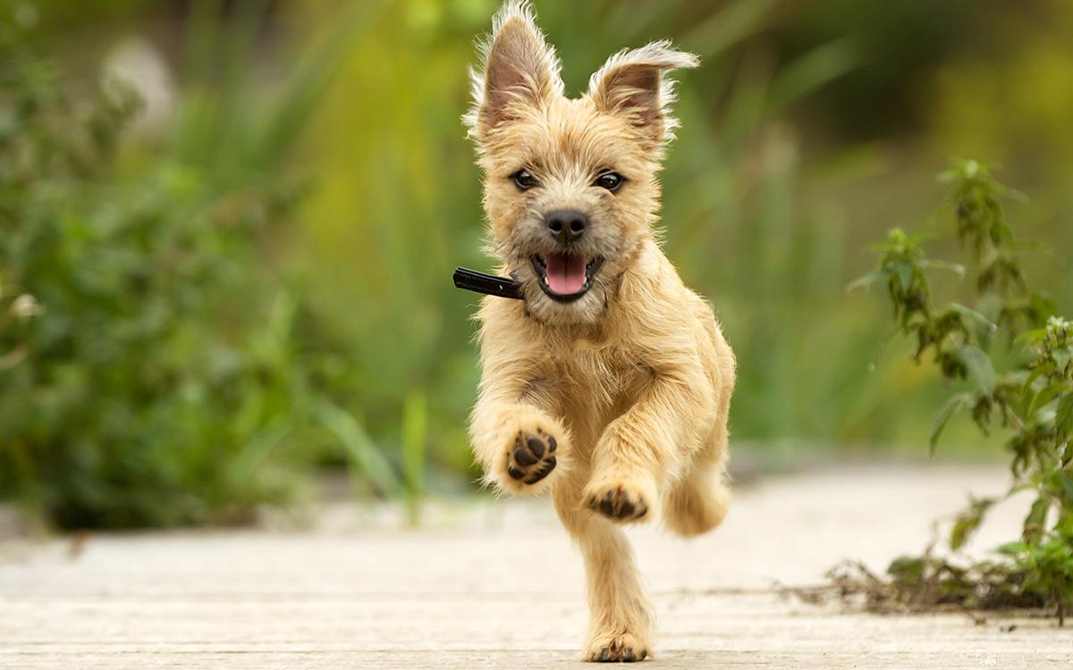 سگ نسکافهای در حال دویدن