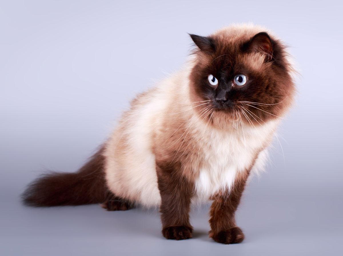 گربه هیمالین چاکلت پوینت
