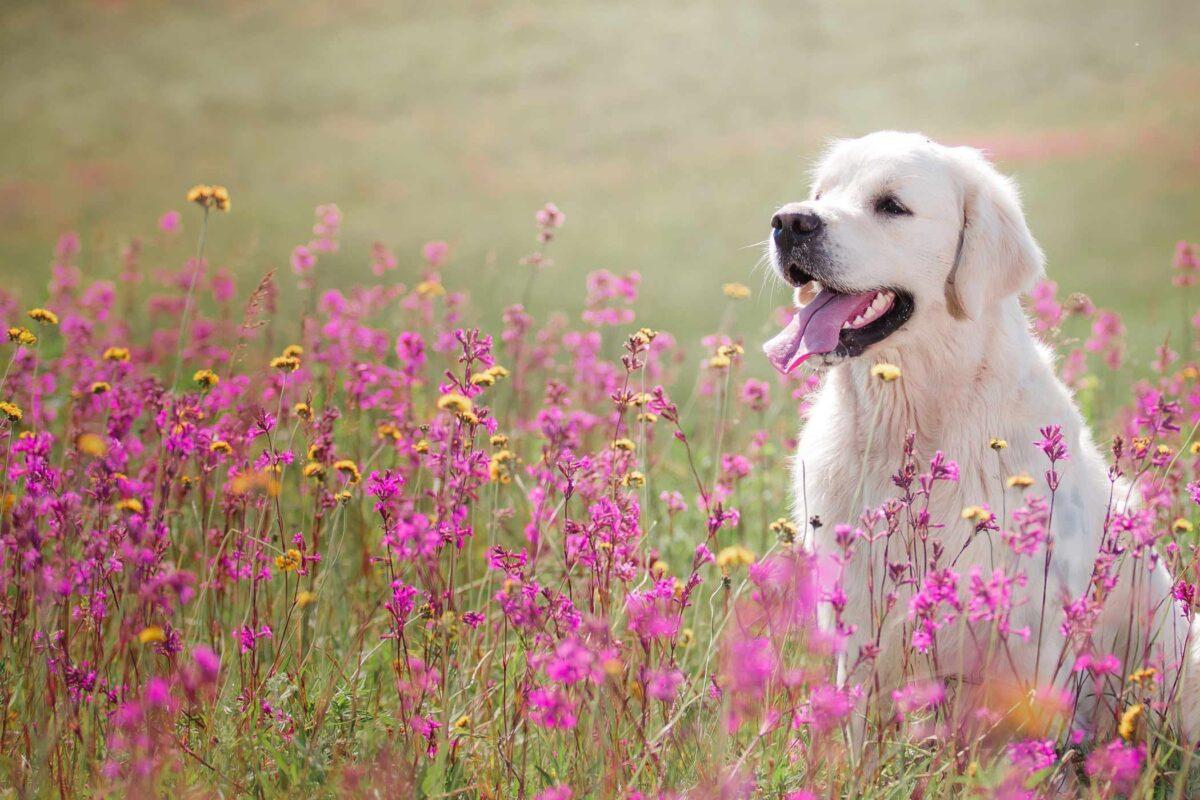سگ سفید در دشت گل