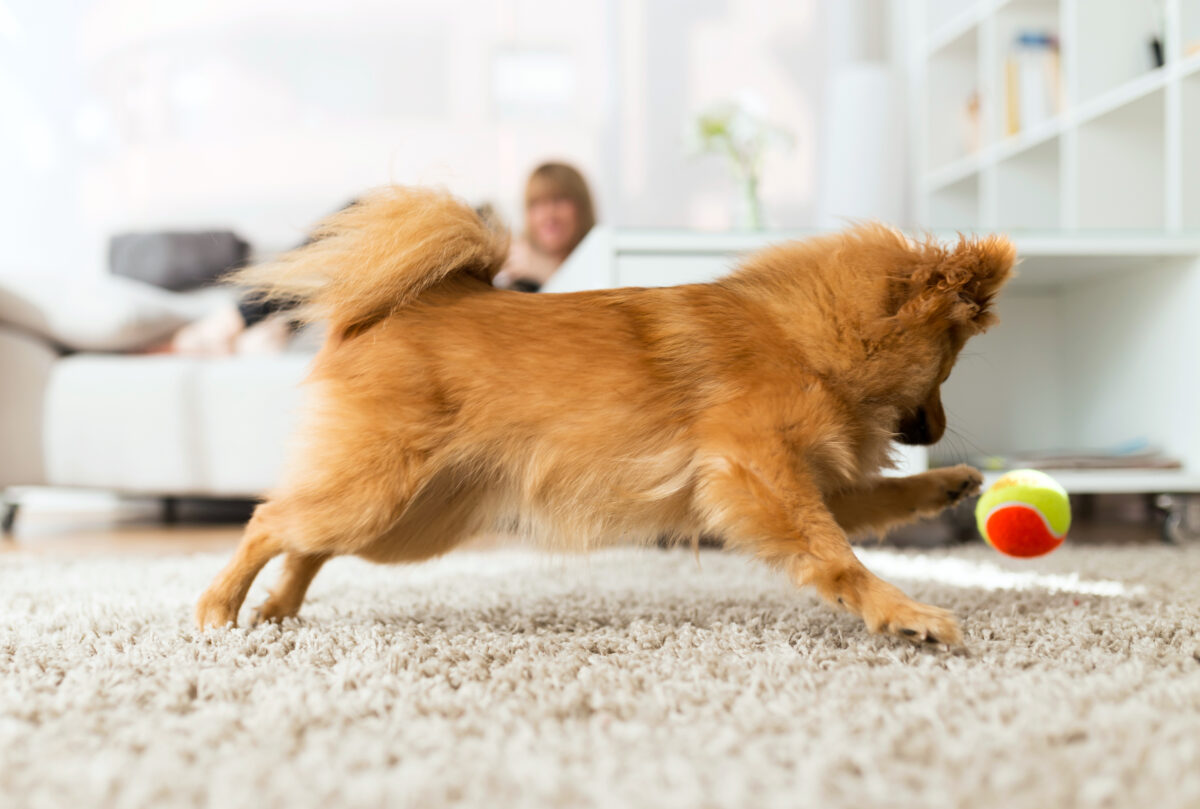 سگ در حال توپ بازی
