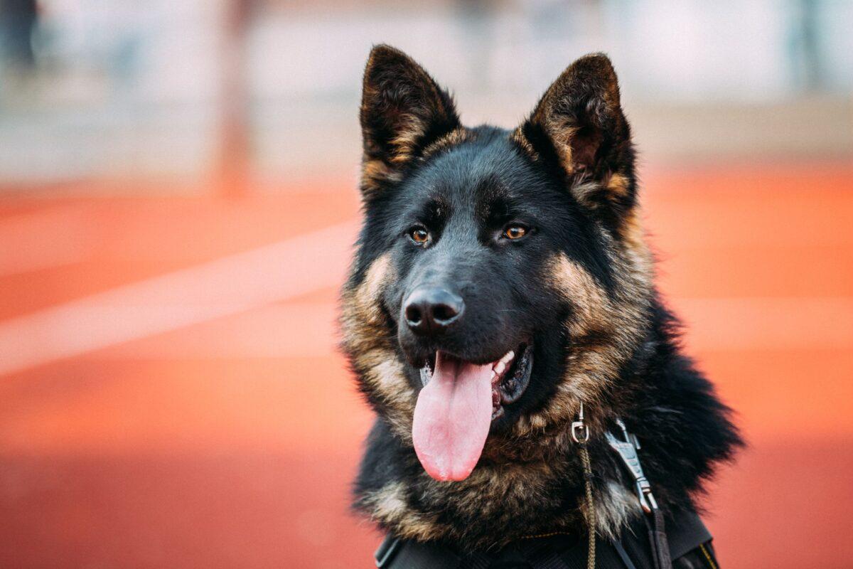 انتخاب اسم برای سگ ژرمن شپرد