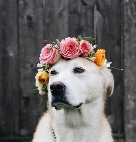 سگ سفید با تاج گل