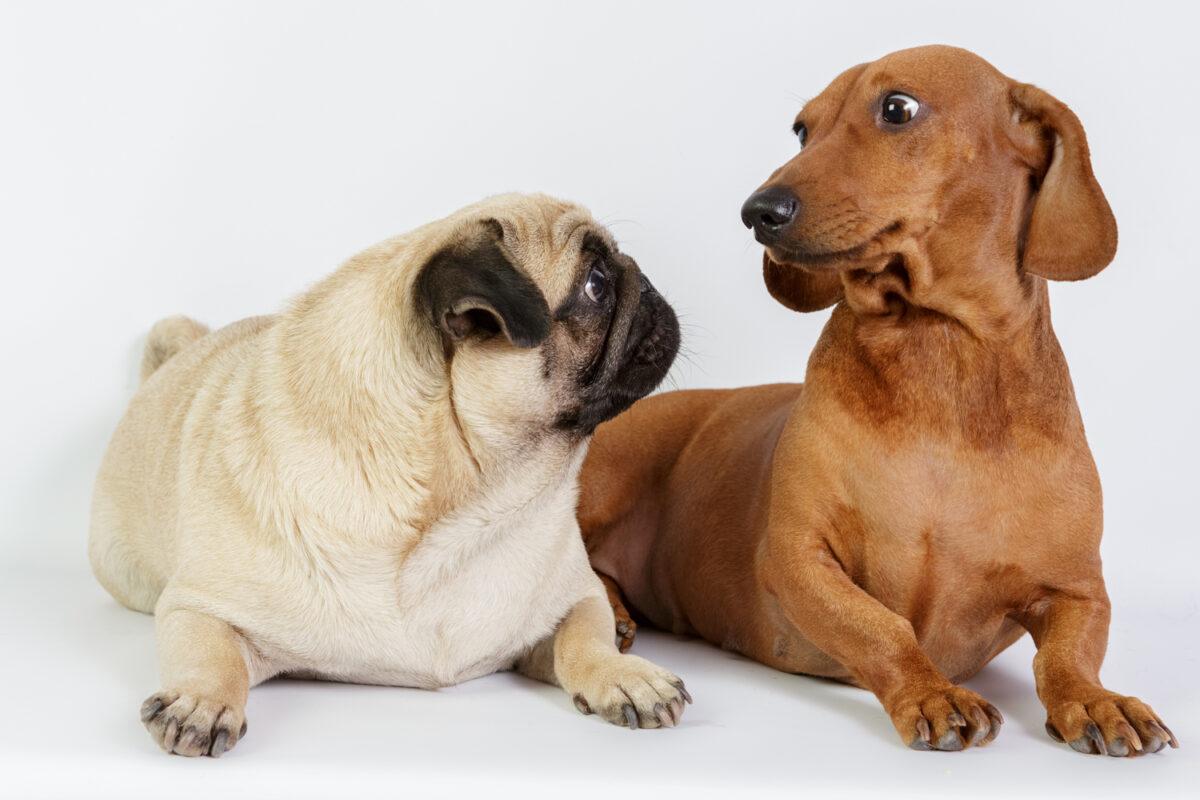 دو سگ در حال نگاه کردن به هم