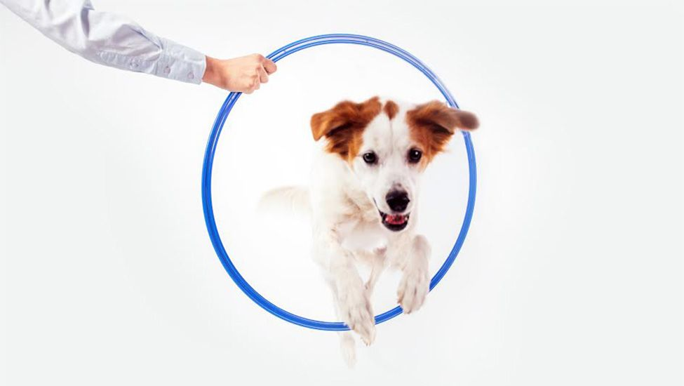 سگ در حال پریدن از حلقه