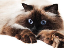 معرفی گربه هیمالین و تفاوت آن با گربه پرشین