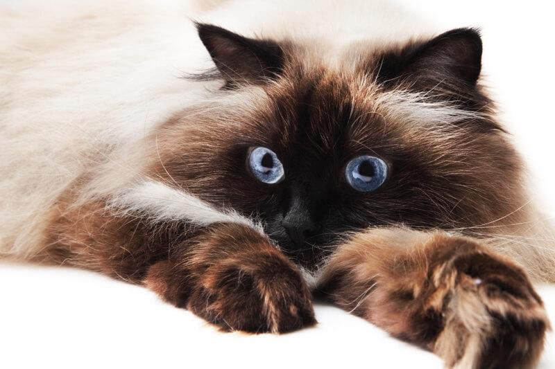 گربه هیمالین چشم آبی