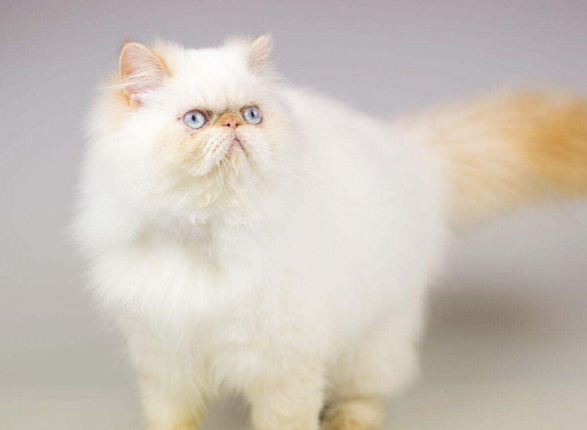 گربه هیمالین رد پوینت