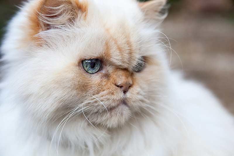 گربه هیمالین ردپوینت