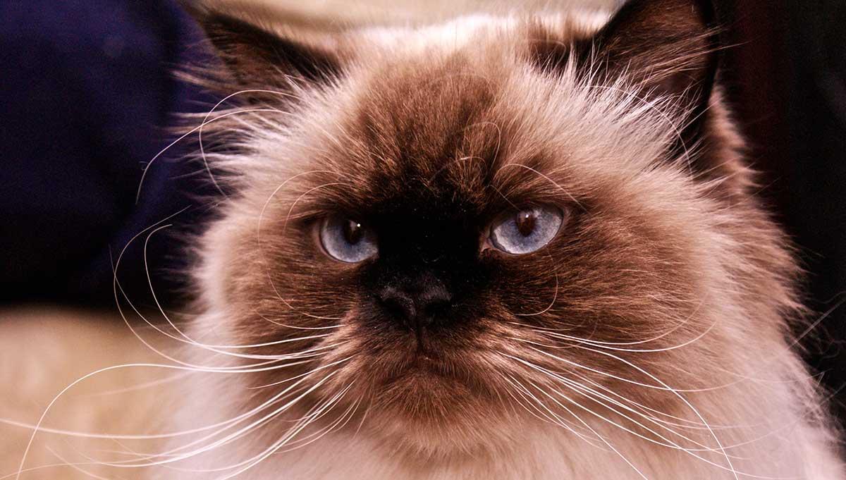 گربه هیمالین سنتی یا دال فیس