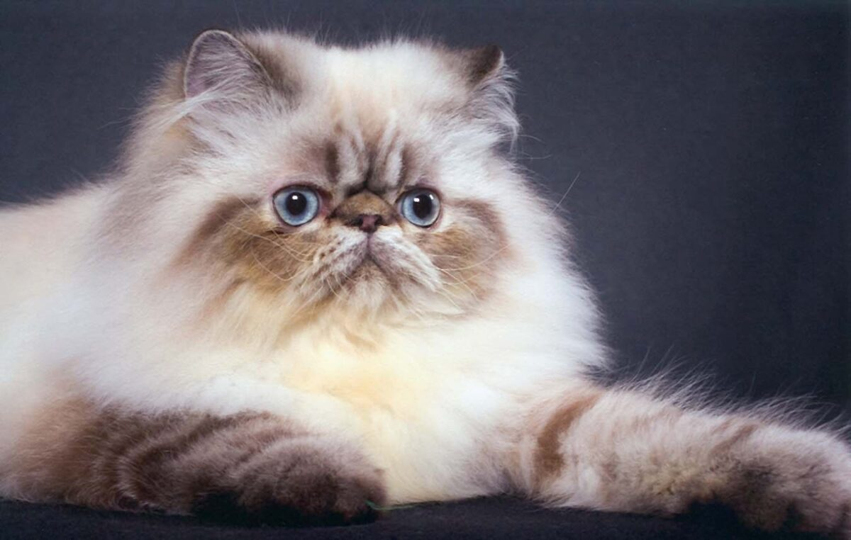 گربه هیمالین فلت