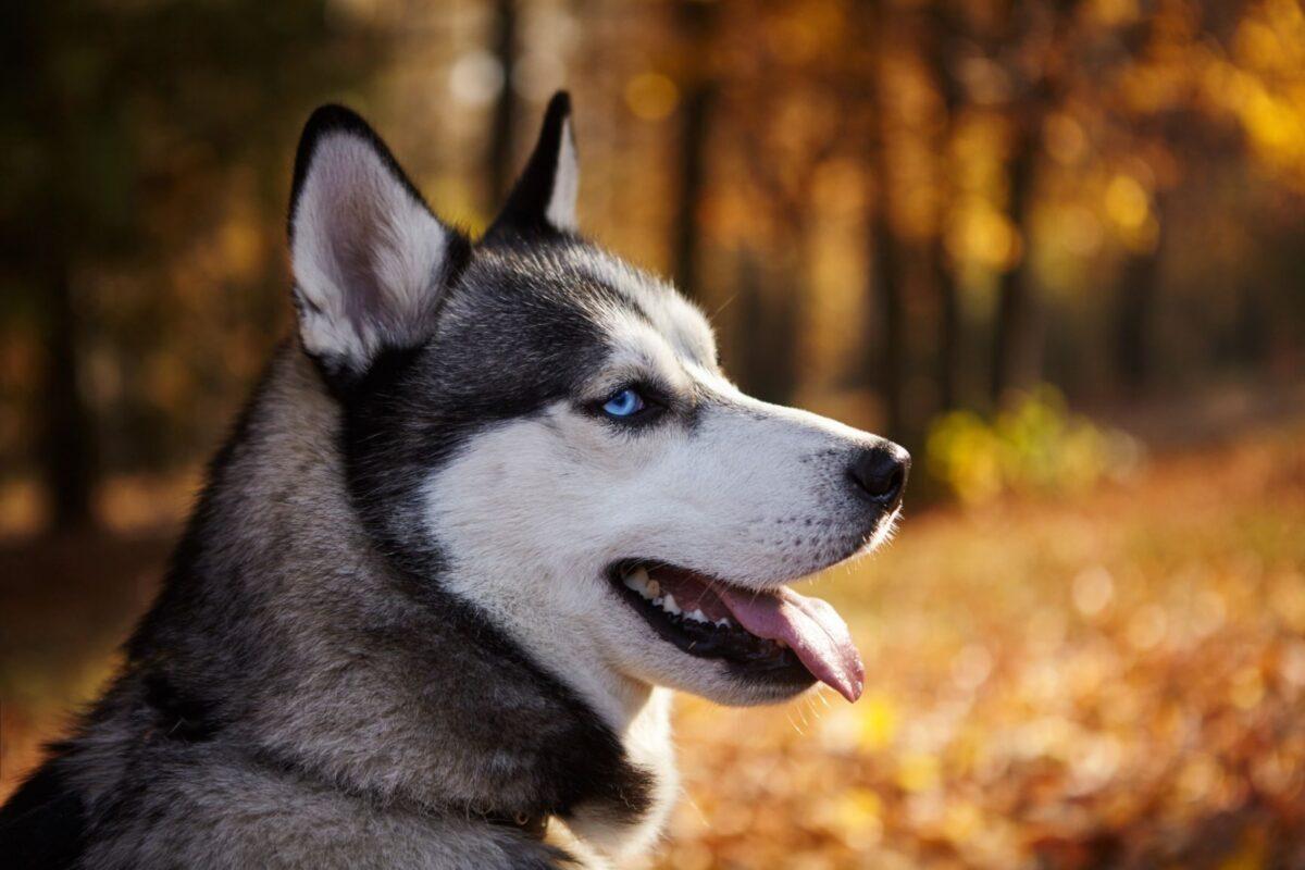 نیمرخ سگ هاسکی