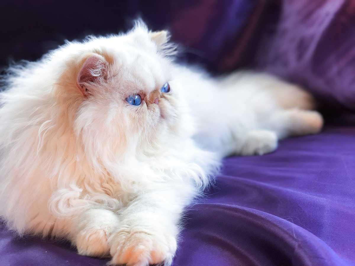 گربه هیمالین سفید چشم آبی