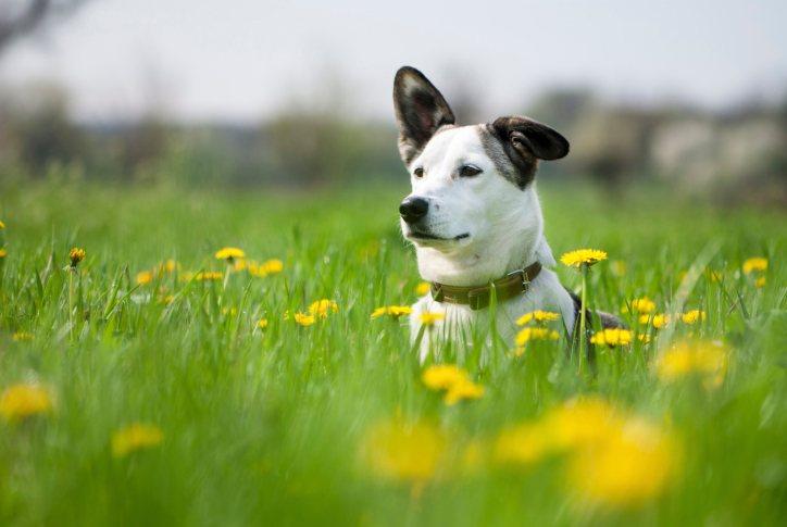 سگ سفید با گوشهای سیاه در دشت
