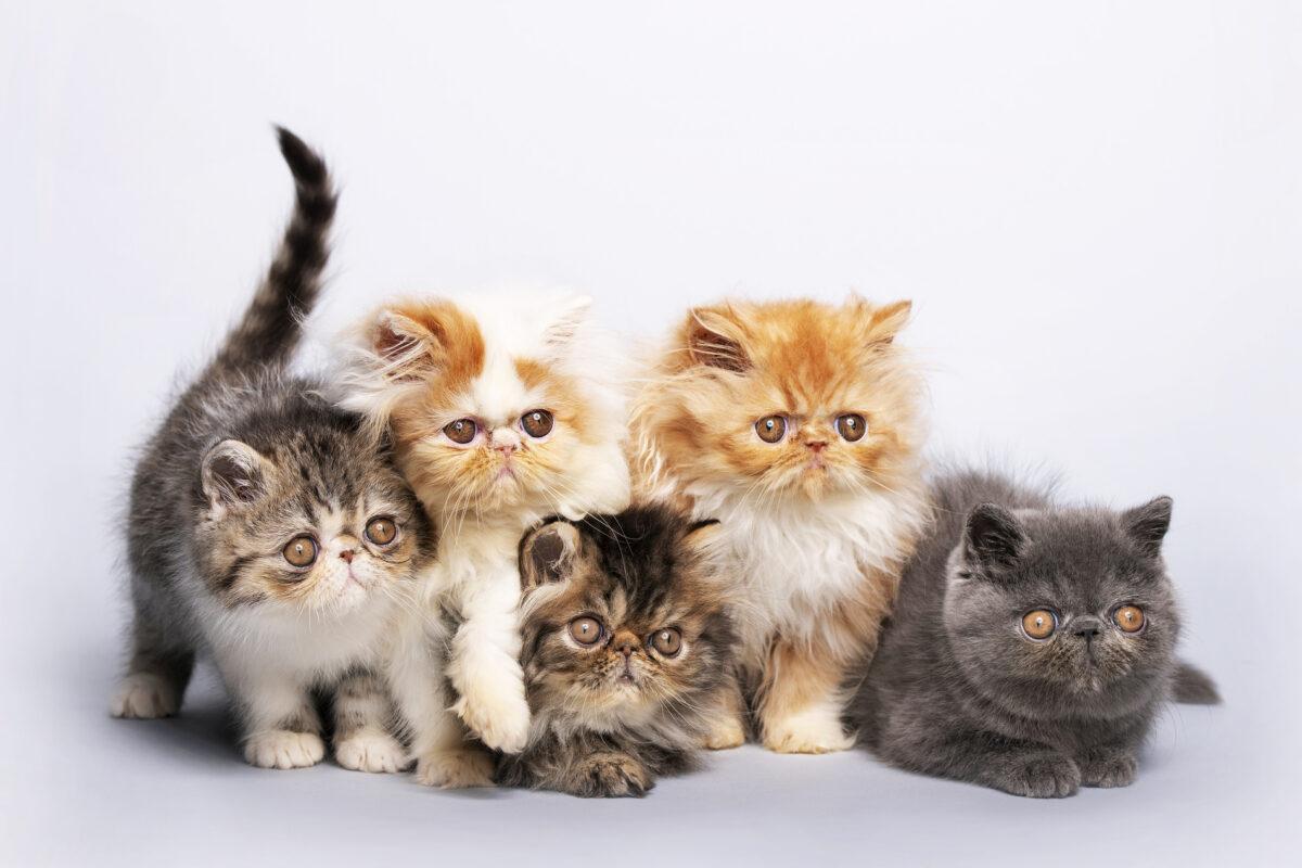 بچه گربه های پرشین