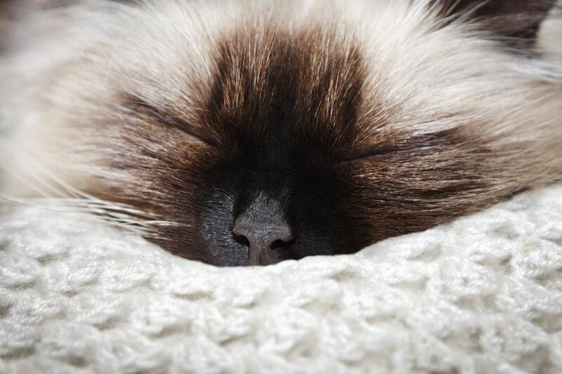 گربه هیمالین خوابیده