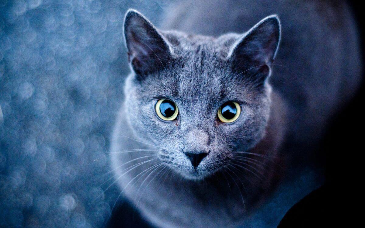 عکس گربه دودی اسموکی