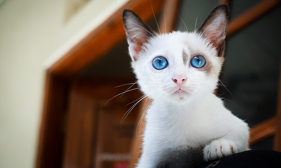 گربه سفید با چشم های آبی