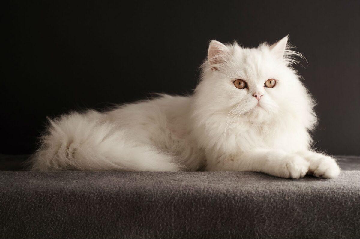 اسم برای گربه پرشین سفید