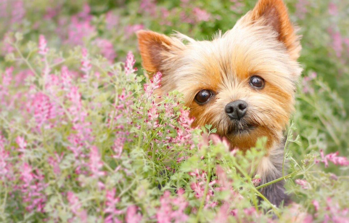 سگ یورکی در بین گل ها