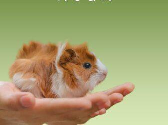 ایبوک جامع تربیت، نگهداری و بیماریهای خوکچه هندی