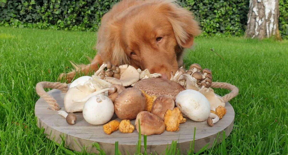 سگ در حال بو کردن قارچ