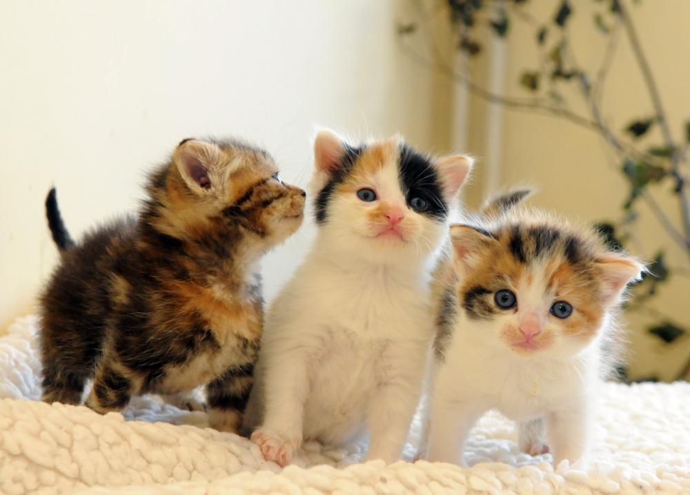 سه بچه گربه کالیکو