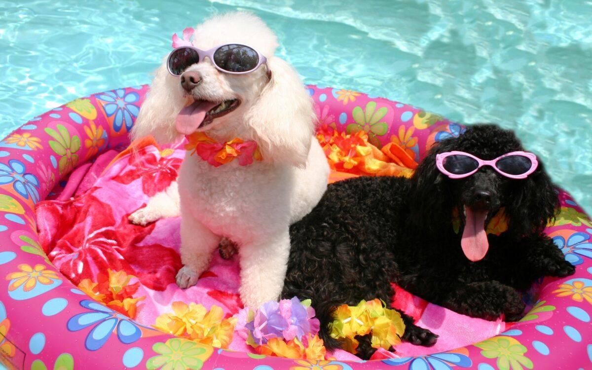 آب بازی سگ ها در استخر