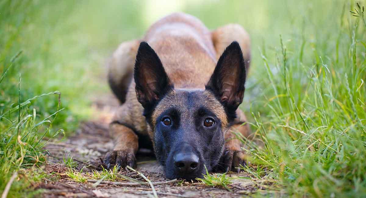 روش تربیت سگ مالینویز