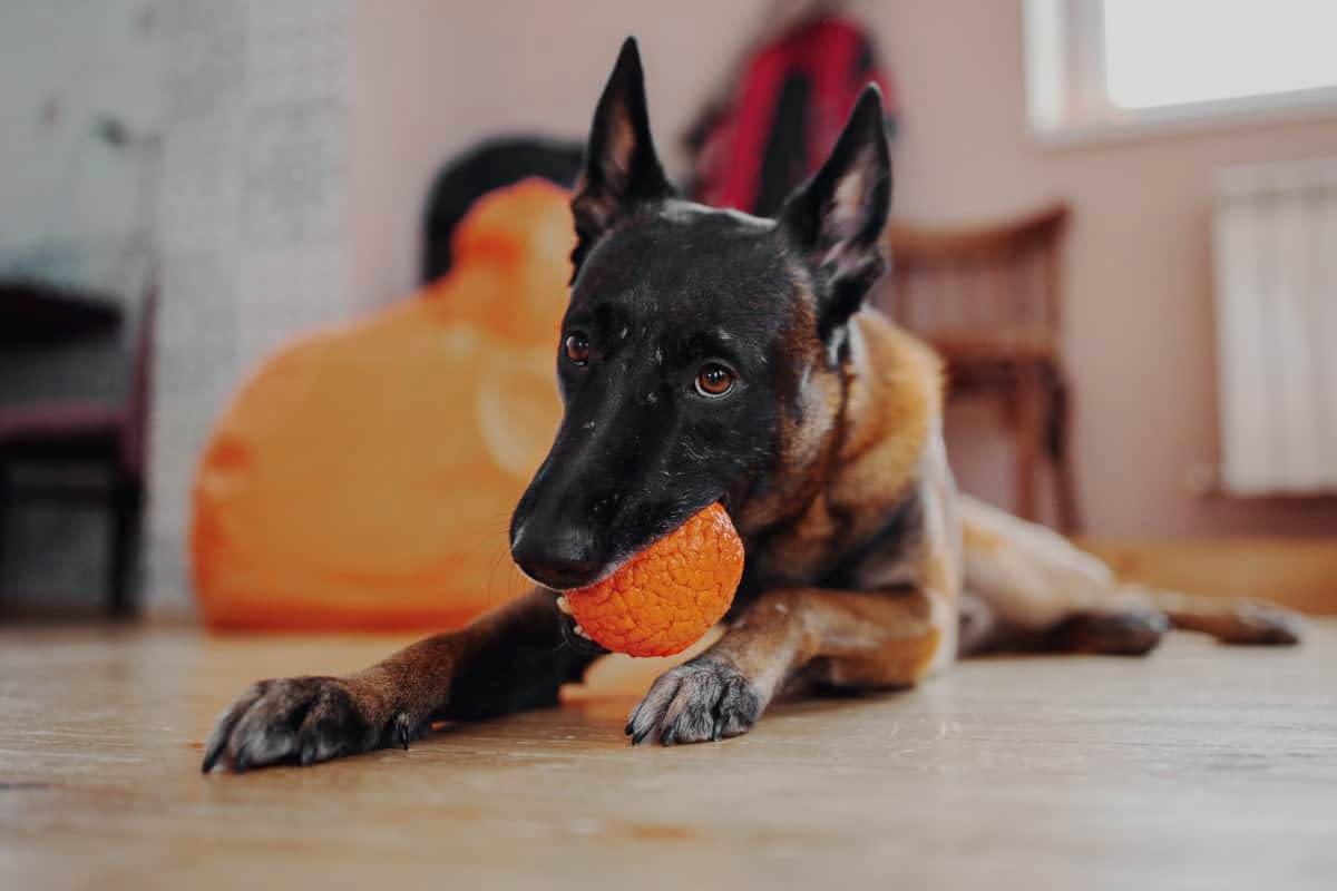نگهداری از سگ مالینویز