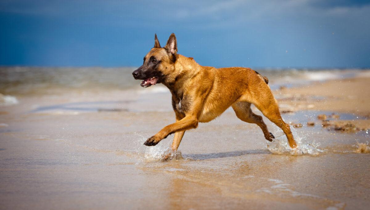 سگ مالینویز در حال دویدن در ساحل