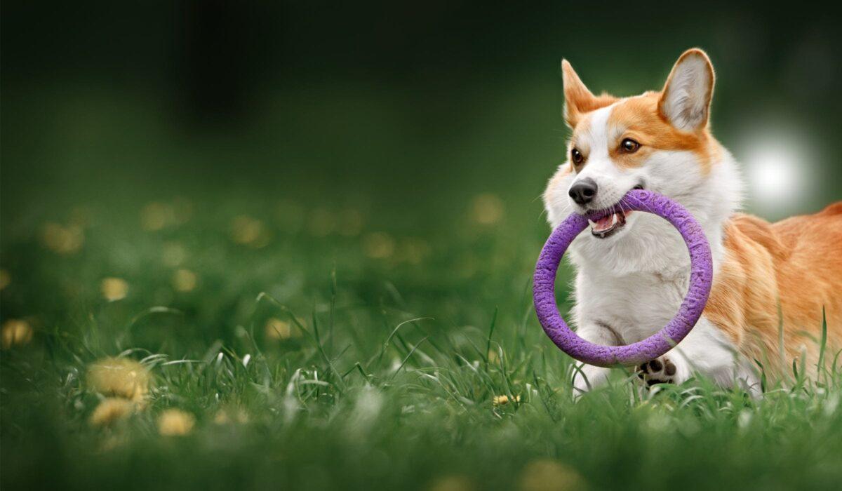 سگ کورگی در حال بازی در طبیعت